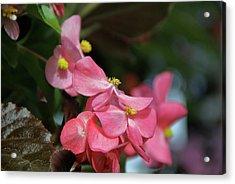 Begonia Beauty Acrylic Print