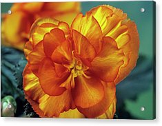 Begonia (begonia Tuberhybrida 'picotee') Acrylic Print by Ann Pickford/science Photo Library