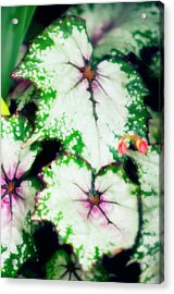 Begonia Leaves (begonia 'uncle Remus') Acrylic Print by Maria Mosolova/science Photo Library