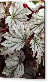 Begonia 'looking Glass' Acrylic Print by Maria Mosolova
