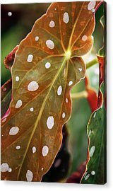 Begonia Maculata 'wightii' Acrylic Print by Maria Mosolova