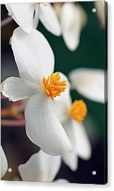 Begonia Minor Acrylic Print by Geoff Kidd/science Photo Library