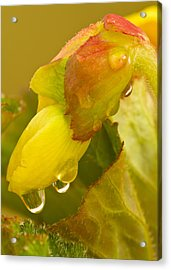 Begonia Raindrops  Acrylic Print