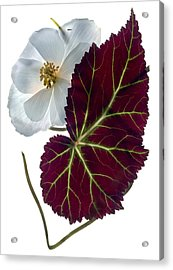 Begonia White Acrylic Print by Julia McLemore