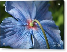 Behind The Blue Poppy Acrylic Print by Carol Groenen