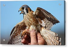 Acrylic Print featuring the photograph Behold The American Kestrel by Nathan Rupert