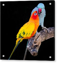 Sun Conure And Ring Neck Parakeet 2 Acrylic Print