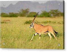 Beisa Oryx Running In Awash National Park Acrylic Print by Tony Camacho