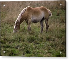 Belgian Draft Horse Acrylic Print
