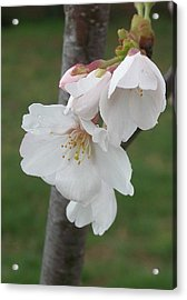 Bell Blossoms Acrylic Print by Wide Awake Arts