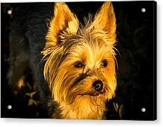 Bella The Wonder Dog Acrylic Print