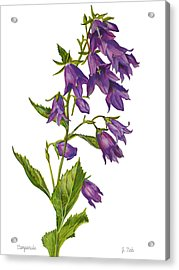 Bellflower - Campanula Acrylic Print