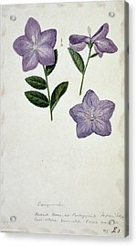 Bellflower Acrylic Print by Natural History Museum, London/science Photo Library