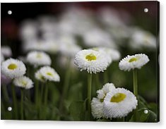 Bellis Perennis Acrylic Print by Lesley Rigg