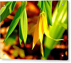 Bellwort On Display Acrylic Print by Susan Crossman Buscho