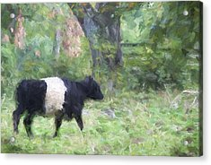 Belted Galloway Cow Painterly Effect Acrylic Print by Carol Leigh