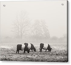 Belted Galloway Cows On Foggy Farm Field In Maine Acrylic Print by Keith Webber Jr