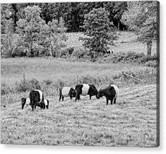 Belted Galloway Cows Rockport Maine Black Andc White Photograph Acrylic Print by Keith Webber Jr