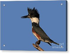 Belted Kingfisher Acrylic Print by Meg Rousher