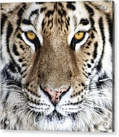 Bengal Tiger Eyes Acrylic Print by Tom Mc Nemar