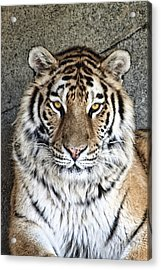 Bengal Tiger Vertical Portrait Acrylic Print by Tom Mc Nemar