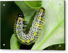 Berberis Sawfly Larva Acrylic Print by Nigel Downer