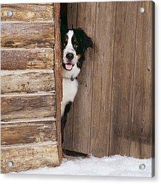 Bernese Mountain Dog At Log Cabin Door Acrylic Print by John Daniels