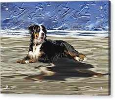 Bernese Mountain Dog Acrylic Print