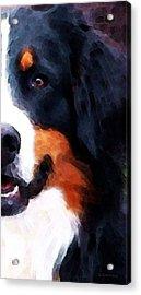 Bernese Mountain Dog - Half Face Acrylic Print by Sharon Cummings