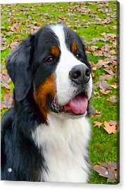 Bernese Mountain Dog Acrylic Print by Jennie Marie Schell