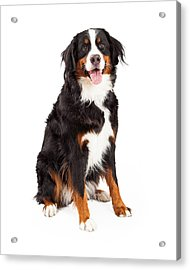 Bernese Mountain Dog Sitting Acrylic Print by Susan Schmitz