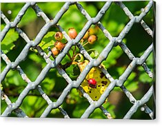 Berries And The City - Featured 3 Acrylic Print by Alexander Senin