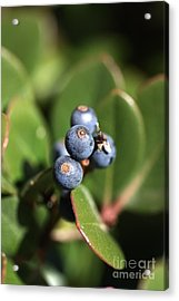 Berries Of Blue Acrylic Print by Joy Watson