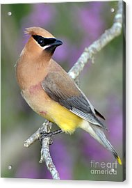 Berry Stained Waxwing Acrylic Print by Stephen Flint