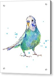 Bertie Wonderblue The Budgie Acrylic Print