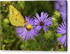 Acrylic Print featuring the photograph Best Friends - Sulphur Butterfly On Asters by Jane Eleanor Nicholas