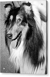 Best Of Breed Collie Acrylic Print