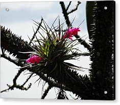 Between Thorns Acrylic Print by Zinvolle Art