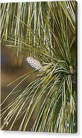 Bhutan Pine (pinus Wallichiana) Acrylic Print by Dr. Nick Kurzenko