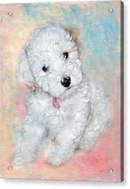 Bichon Maltipoo Puppy Dog Acrylic Print by Robert Jensen
