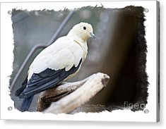 Bicolor Pigeon Acrylic Print