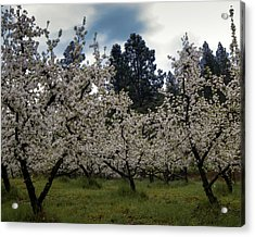 Big Apple Blossoms Acrylic Print