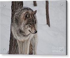 Big Bad Wolf Acrylic Print