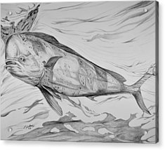 Big Bull Dolphin Acrylic Print by Edward Johnston