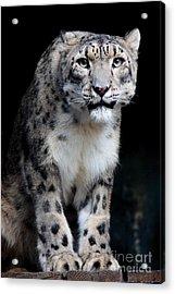 Big Cat's 2011.no.3 Acrylic Print by RL Clough