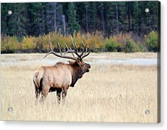 Acrylic Print featuring the photograph Big Colorado Bull by Shane Bechler