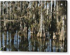 Big Cypress National Preserve Acrylic Print by Mark Newman