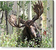 Big Daddy The Moose 3 Acrylic Print