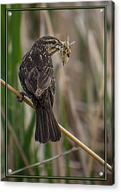 Acrylic Print featuring the photograph Big Dinner For Female Red Winged Blackbird II by Patti Deters