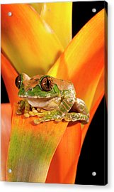 Big Eye Treefrog, Leptopelis Acrylic Print by David Northcott